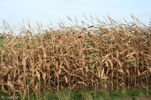 corn-field-5239