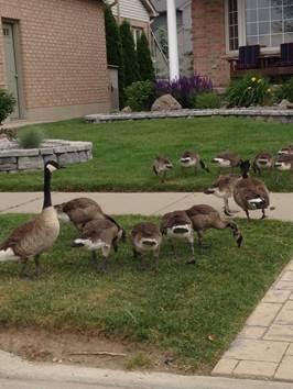geese on lawnjpg